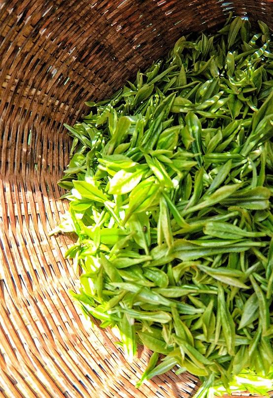 贵州平塘县:春茶第一壶开采
