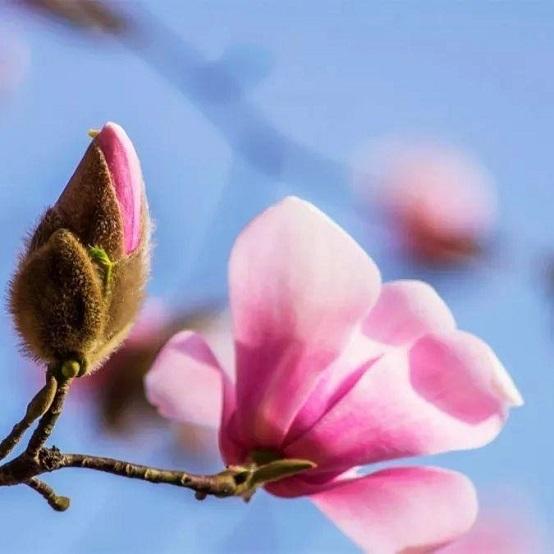 北川邀你,邂逅辛夷花的粉色浪漫