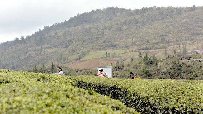"""羊场镇:6000亩""""明前茶""""正式开采"""