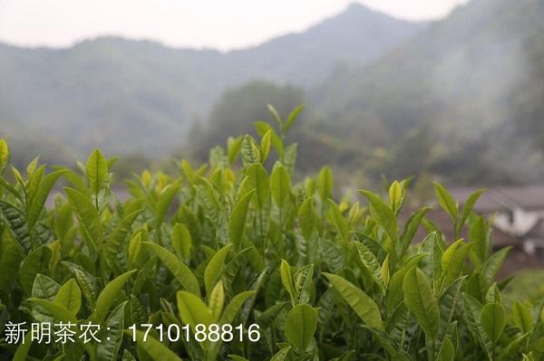 太平猴魁为何称为茶王?