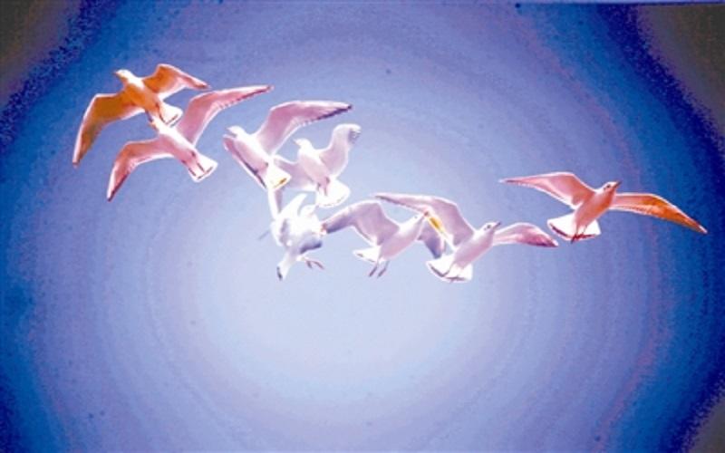 候鸟红嘴鸥 飞抵草海越冬