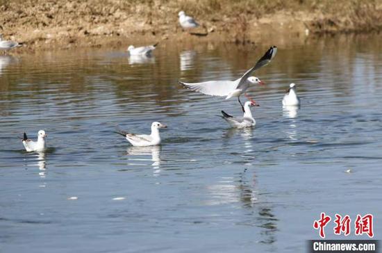 """贵州威宁草海迎来9万只候鸟""""入住""""越冬"""