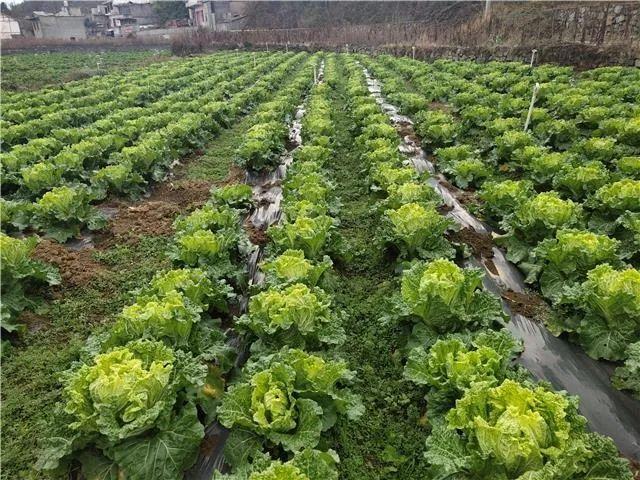"""百里杜鹃:紧扣""""八要素""""推进农村产业革命助力群众持续增收"""