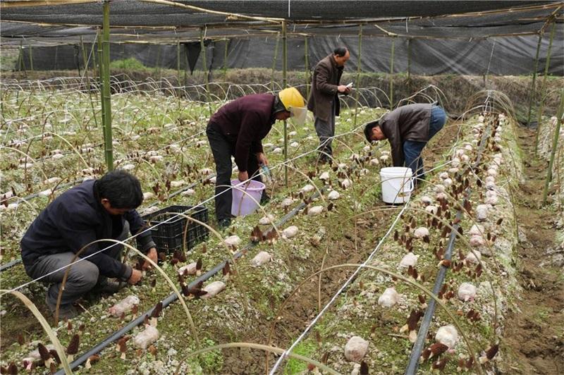 黔西县定新乡:小小羊肚菌 拓宽增收路