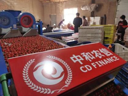 """中和农信:订单农业结硕果,美圣佳小番茄""""红""""啦"""